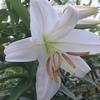 雨の中の開花(ゆり)
