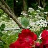 紫陽花と薔薇と、恋する豚と… 記念日のこと