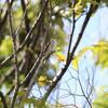 夏鳥が多くて楽しめた日(大阪城野鳥探鳥 2017/09/18 5:15-12:05)