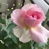 ベランダガーデニングのバラ