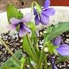 スミレ 2    現代の私たちは,すみれを可憐な花として愛でます.花姿に加えてスミレを歌った詩歌が,この思いを更に強くしている気がします. 「春の小川」〜国木田独歩〜秦基博〜Violets for your furs〜Das Veilchen〜「すみれの花の咲く頃」