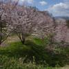 明日香村で農村めぐり 桜や菜の花を見ながら欽明天皇陵へ