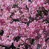 桜、開花状況。夢で聞いた「悪くないだろう」