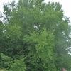 本当!!青森に日本一の銀杏の木があるんだって!?