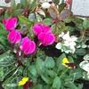 ビオラ、シクラメン、冬の花を植えました