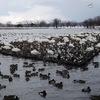 瓢湖(阿賀野市水原)の白鳥201112