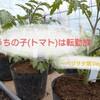 トマト【ステラトマト】たち再び植え替え~ベジヲタ畑 Day36