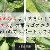 【家庭菜園】手のひらより大きい!?『米ナス』の葉っぱの大きさが半端ないのでレポートしてみる!