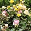 庭のバラが見ごろになりました。