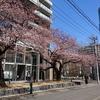 東北大学さくらキッチンと桜