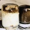 オオクワガタ:保温庫③の♂達が蛹室作りを開始