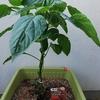 プランター菜園 パプリカ  1か月で急成長!