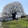 作州 春の旅(醍醐桜)
