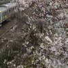 散りかけの桜と総武緩行線E231系を市ヶ谷で撮る。