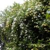 モッコウバラ黄色と白色の共演