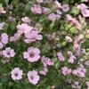 初夏の花壇にピンクのカスミソウ。種まきから種を取るまで。