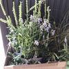 お買い得の宿根草