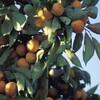 漢方のお話①「柿の葉(茶)・素晴らしい効能、効果」