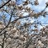 トロントでも人気、桜のお花見