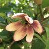 カラタネオガタマ(唐種招霊)の花