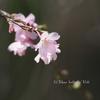 桜を愛でる -続き-