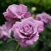 神戸)本山街園(岡本街園)のバラ。住吉駅南の花壇。