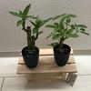 【38】植物を育てましょう ミリオンバンブー/カポック