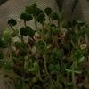 水耕栽培・・マグカップと茶こし、で簡単! まずは、ブロッコリースプラウト栽培