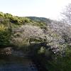 自分で植えた桜で花見をしよう
