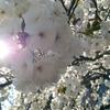造幣局 桜の通り抜けに行ってきた話