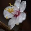 湯島天神で水滴に映える梅の花びらを撮影!