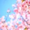 【2018】福岡市中央区内の桜 満開時期とおすすめ花見スポット3選
