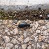 触覚に丸いものが付く青っぽい虫 毒を持つヒメツチハンミョウに要注意!