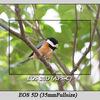 EOS5Dで野鳥撮影