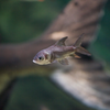 パーカーホー Catlocarpio siamensis