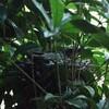 庭に巣を作ったヒヨドリの話