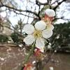 京都御所の梅林へ梅を見に行く②観光114...20210225京都