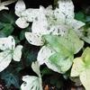 ヘデラ ≪白雪姫≫という植物です。
