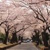 数百本の桜!緑ヶ丘霊園でお花見!