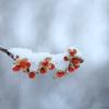 雪の中で赤い実を接写 / 長野県の女神湖を撮影しました