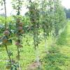 新品種シナノリップの様子。