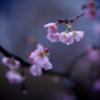 なぜ人はこんなにも「桜」が好きか知ってる?桜についつい惹かれてしまうには理由があるんです。