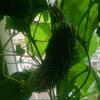 今日はベランダ菜園のお話を(ヘロヘロですが徐々に回復中)