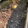 (6/9) ジャガイモに寄せ土、追肥