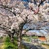 【桜開花】地元もほぼ満開になりました