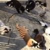 豚コレラ(CSF)と猫