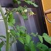 100均アイテムで家庭菜園したナスが収穫できた
