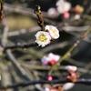 進め!俳句ビギナー⑩。「ときには近場の森に足を踏み入れ梅やコケなど観賞しつつ、四季折々に目をやりながら『桜はまだかいな』の花見の時季も、もうじきかなと独りうなづく、独り考」の巻。