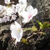 2020 の桜です~~ (*^^*)