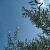 うちのオリーブの木ですが。